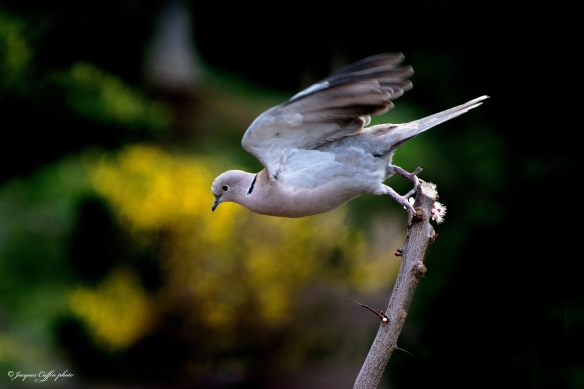 flight-of-the-dove-by-jacques-caffin-cc