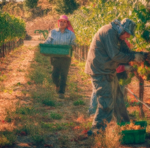 Vineyard Workers
