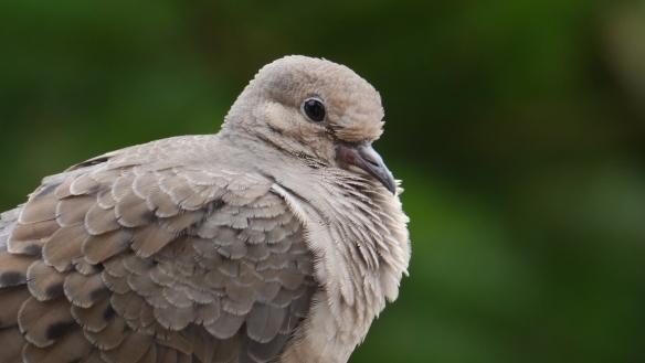 Dove by Scott 97006 - CC